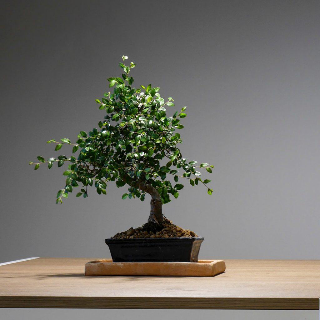 bonsaii plant